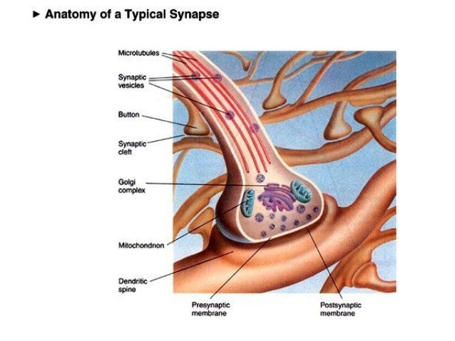 Nerve impulse synapses