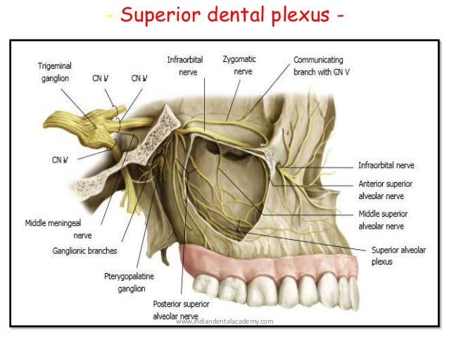 Nerve Supply Of Teeth Endodontic Courses