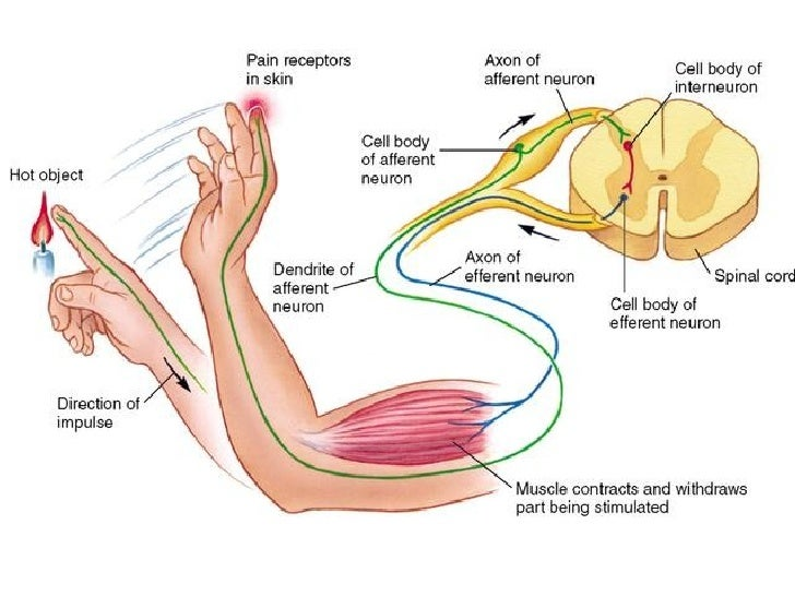 Image Gallery Nerve Pathways