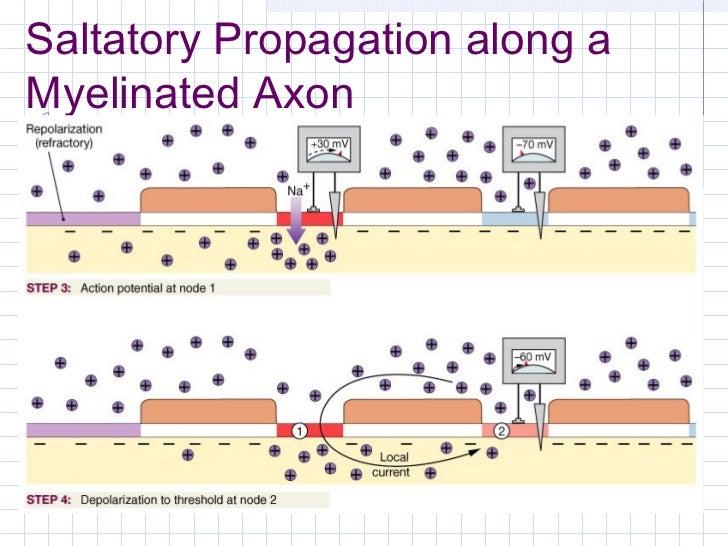 saltatory propagation