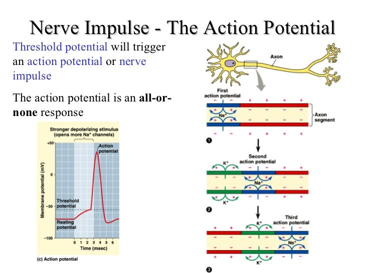 an action potential in a neuron Read and learn for free about the following article: neuron action potentials: the creation of a brain signal  neuron action potential mechanism.