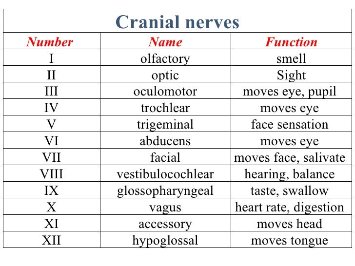nerves, Human Body