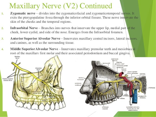Zygomaticotemporal Foramen Nerves and the Nervous...