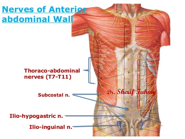 Nerves of anterior abdominal wall anatomy of the abdomen nerves of anterior abdominal wall page 30 2 ccuart Images