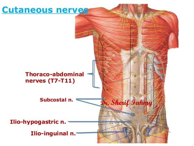 Nerves of anterior abdominal wall anatomy of the abdomen ccuart Gallery