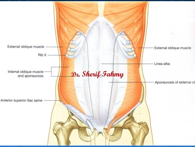 Nerves of anterior abdominal wall anatomy of the abdomen dr sherif fahmy ccuart Gallery
