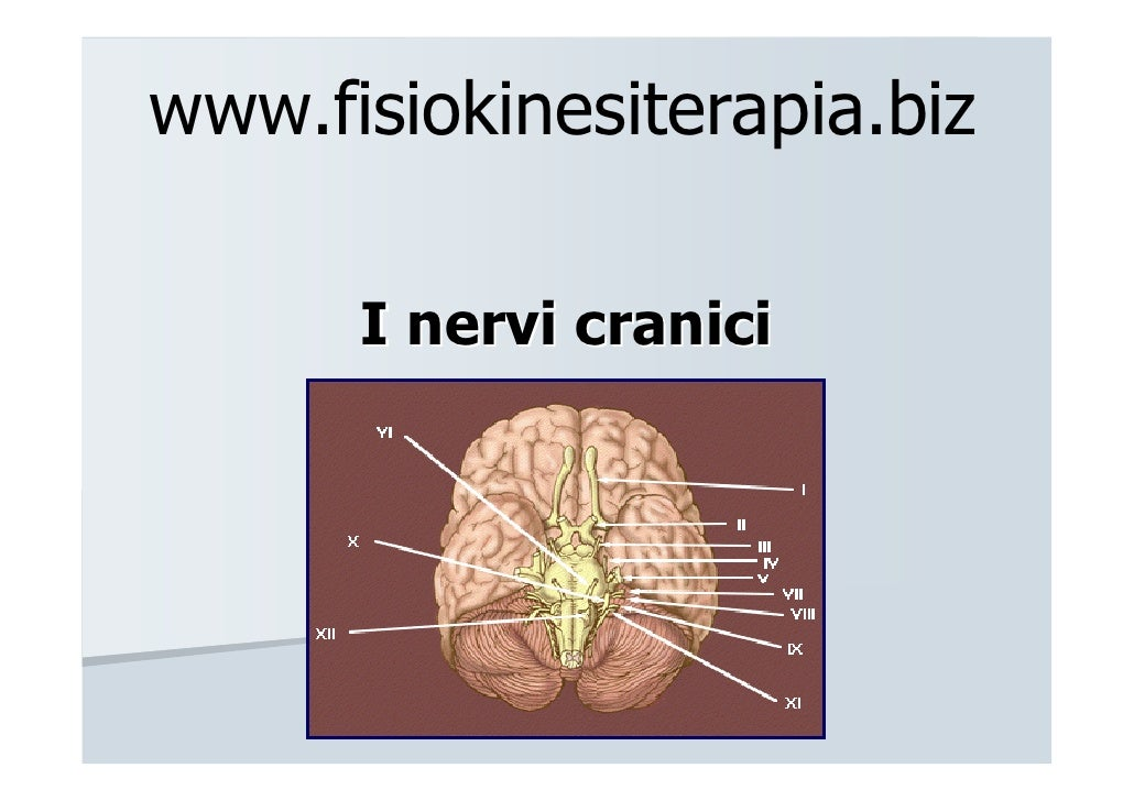 www.fisiokinesiterapia.biz      I nervi cranici