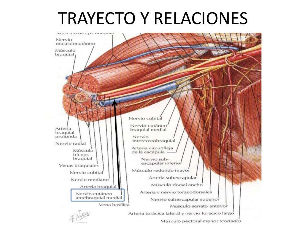 Nervio cutáneo antebraquial medial