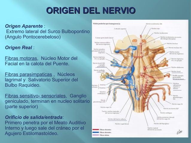 Origen Aparente :Extremo lateral del Surco Bulbopontino(Angulo Pontocerebeloso)Origen Real :Fibras motoras, Núcleo Motor d...
