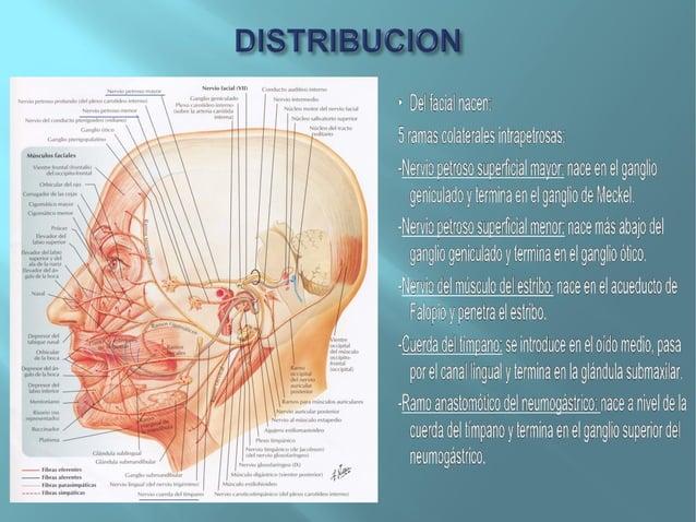 TEMPOROFACIAL:Ramos temporales: para elmúsculo auricular anterior y losdel pabellón.Frontales: para el músculofrontal.Parp...