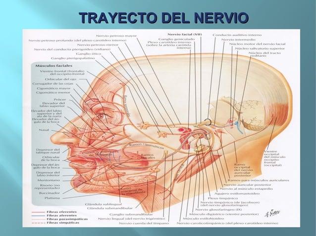 EXPLORACIONEXPLORACIONFunción motoraFunción motoraObserve la cara del paciente, que debeparecer simétrica, es decir, con ...