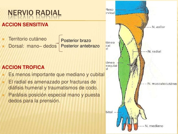 Escapula furthermore Nervios Raquiacutedeos as well Nervio Mediano 9833454 in addition Devo 05 together with Thalamus 45183711. on dorsal ventral anterior posterior