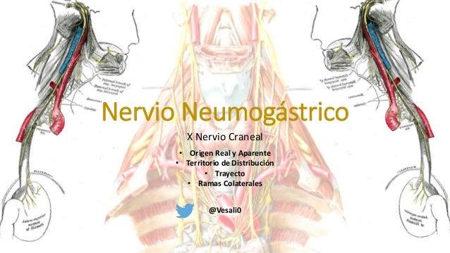 X Nervio Craneal Nervio Neumogástrico @Vesali0 • Origen Real y Aparente • Territorio de Distribución • Trayecto • Ramas Co...