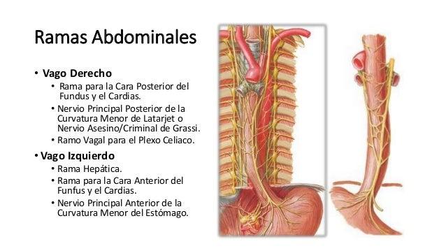 Anatomía - Nervio neumogástrico (Trayecto, Origen, Ramas)