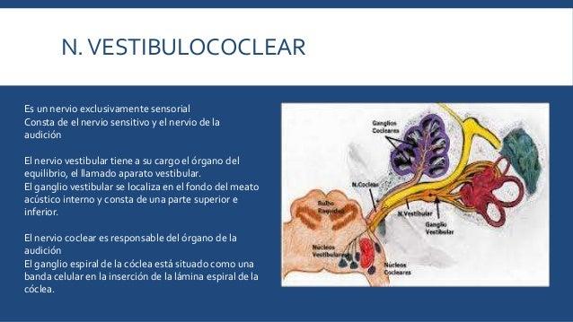 Nervios craneales (Medicina Veterinaria y Zootecnia)
