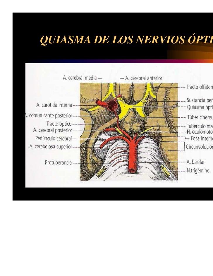 Único La Anatomía Y La Fisiología Del Cerebro Y De Los Nervios ...