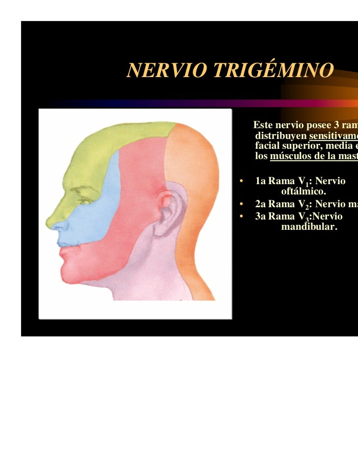 Anatomia Nervios craneales