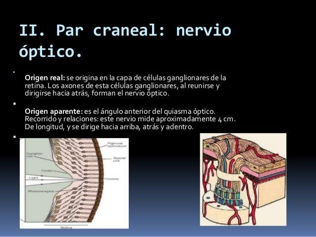 Nervios craneales arturo ayala arcipreste md faans for Cuarto par craneal