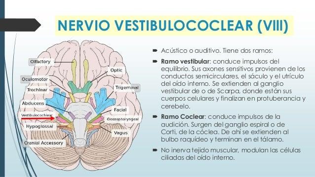Nervios craneales anatomia