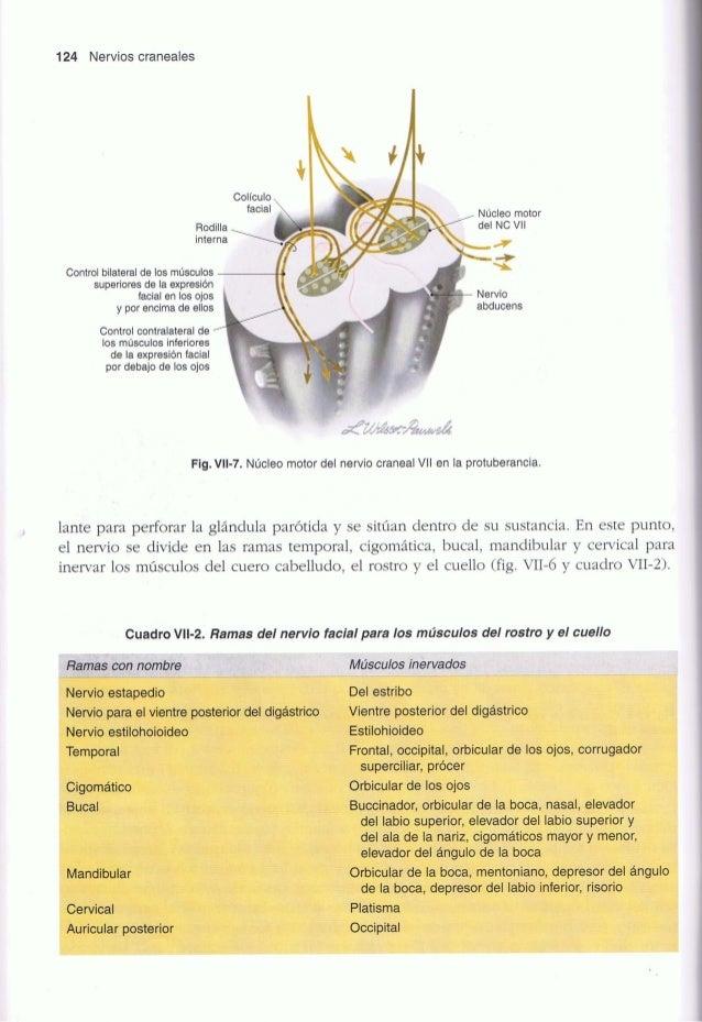 Nervios craneales en la salud y en la enfermedad   wilson