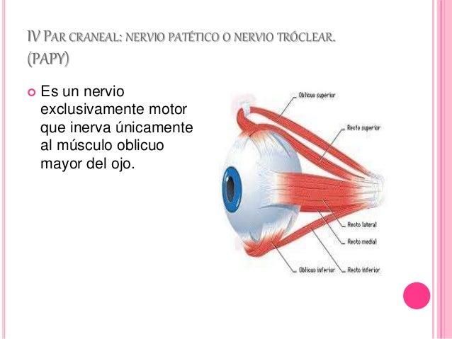 Nervios craneales o pares craneales for Cuarto par craneal