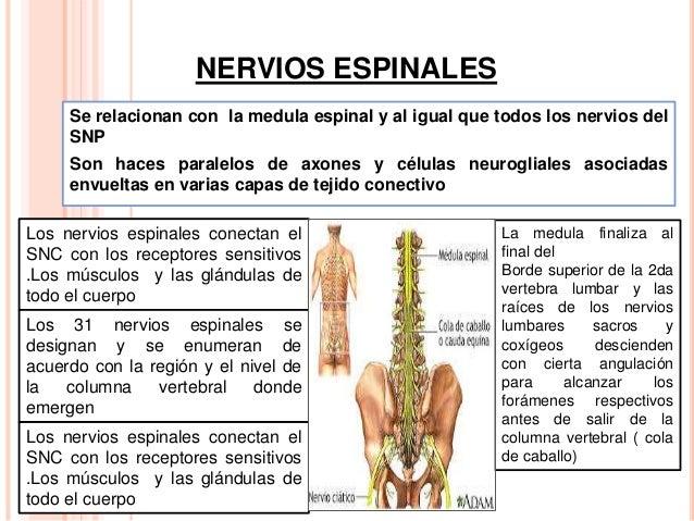 Nervios espinales