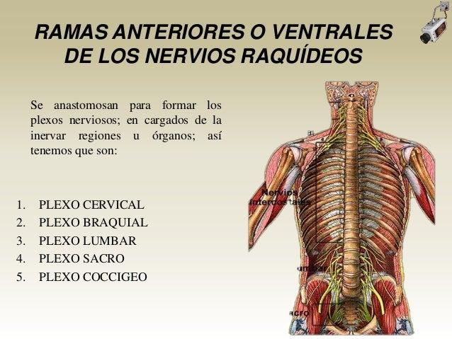 RAMAS ANTERIORES O VENTRALESDE LOS NERVIOS RAQUÍDEOSSe anastomosan para formar losplexos nerviosos; en cargados de lainerv...