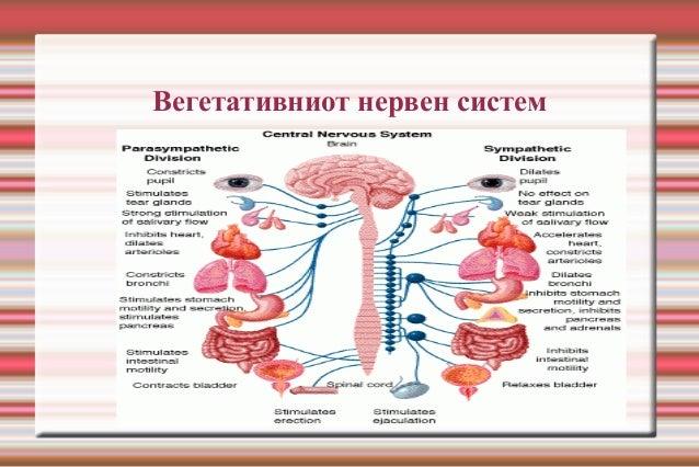 Вегетативниот нервен систем
