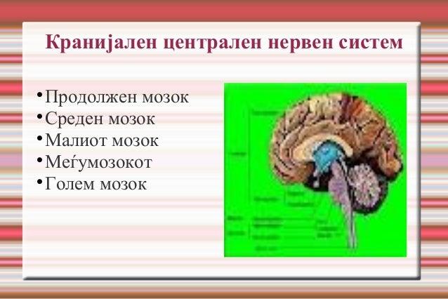 Кранијален централен нервен систем  Продолжен мозок  Среден мозок  Малиот мозок  Меѓумозокот  Голем мозок