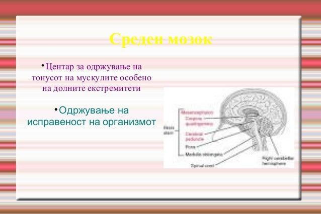 Среден мозок  Центар за одржување на тонусот на мускулите особено на долните екстремитети  Одржување на исправеност на о...
