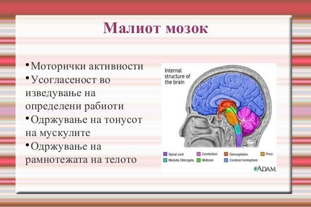 Малиот мозок  Моторички активности  Усогласеност во изведување на определени рабиоти  Одржување на тонусот на мускулите...