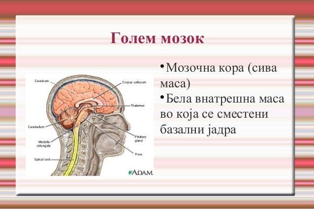 Голем мозок  Мозочна кора (сива маса)  Бела внатрешна маса во која се сместени базални јадра