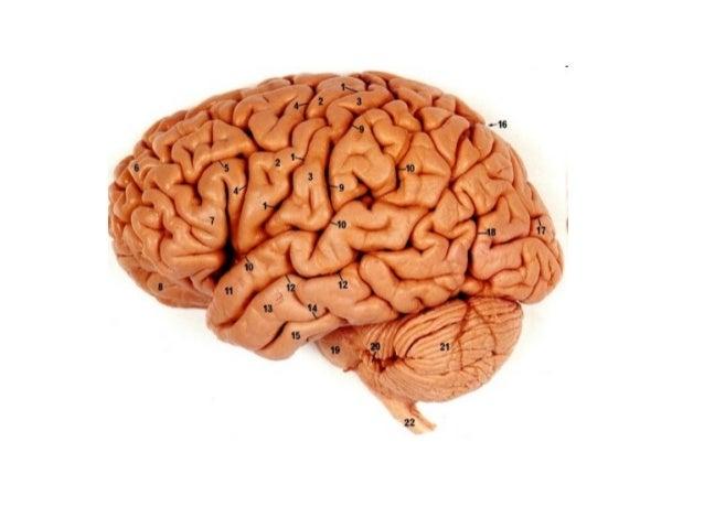 Mozak ajkule
