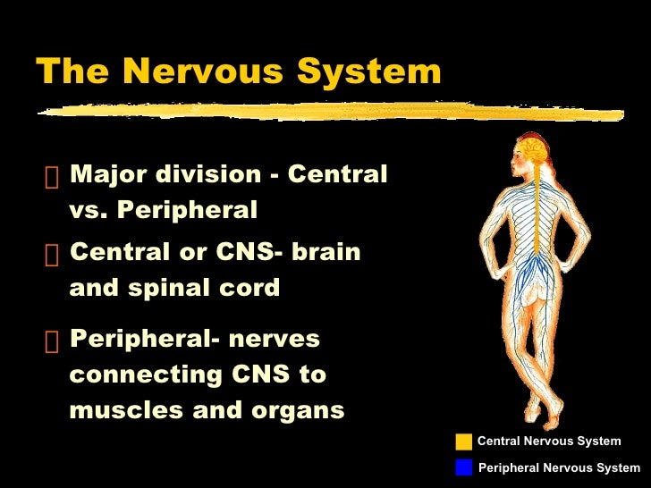 The Nervous System <ul><li>Major division - Central vs. Peripheral </li></ul><ul><li>Central or CNS- brain and spinal cord...