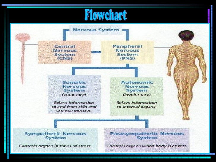 Nervous System Flow Chart Ibovnathandedecker