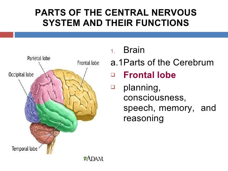 the importance and functions of the central nervous system cns Chapter 23 nervous system  central and peripheral nervous system central nervous system (cns) functions interprets sensory info, initiates motor responses .