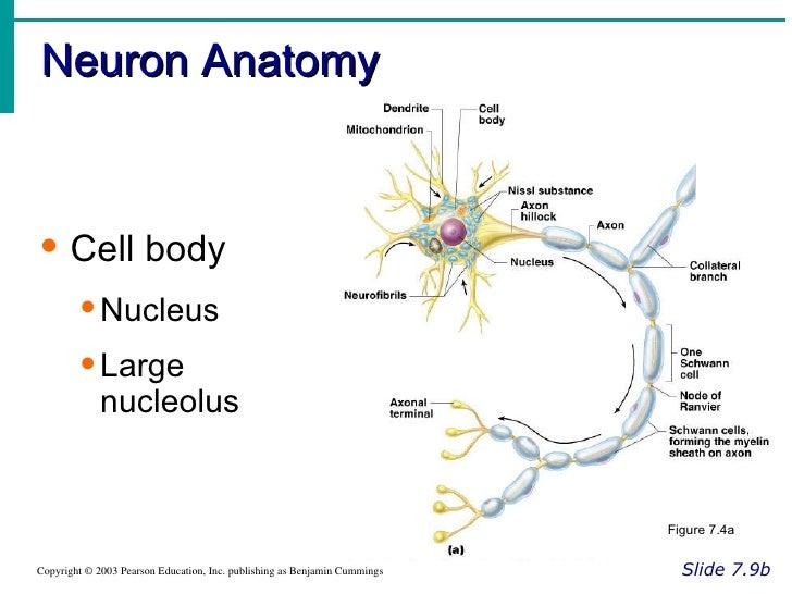 Neuron anatomy activity neuron anatomy activity nucleus nervous system rh slideshare net ccuart Image collections