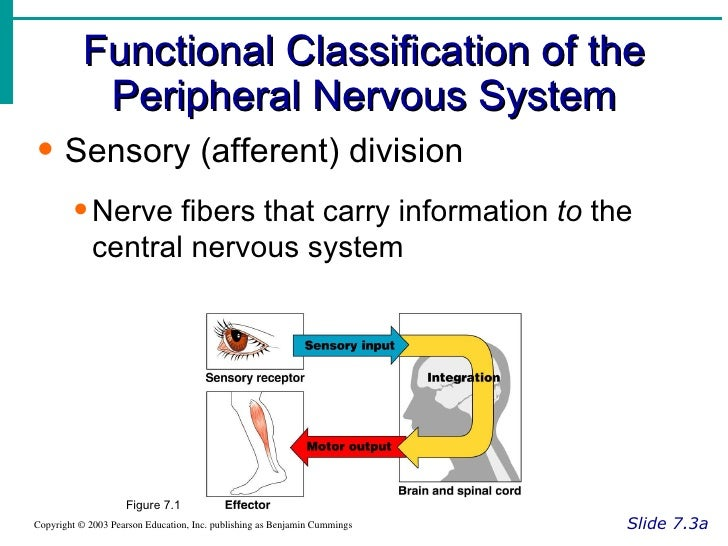 Nervous system functional classification of the peripheral nervous system ccuart Choice Image