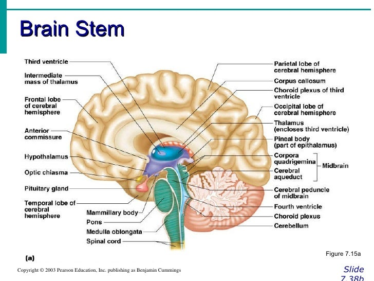 Chapter 7 Nervous System Brain Diagram - Block And Schematic Diagrams •