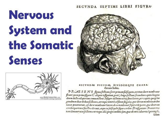 Nervous System and the Somatic Senses