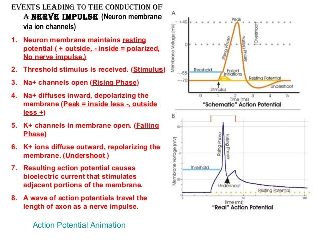 7. eveNts leadiNg to the coNductioN oF a Nerve impulse ...