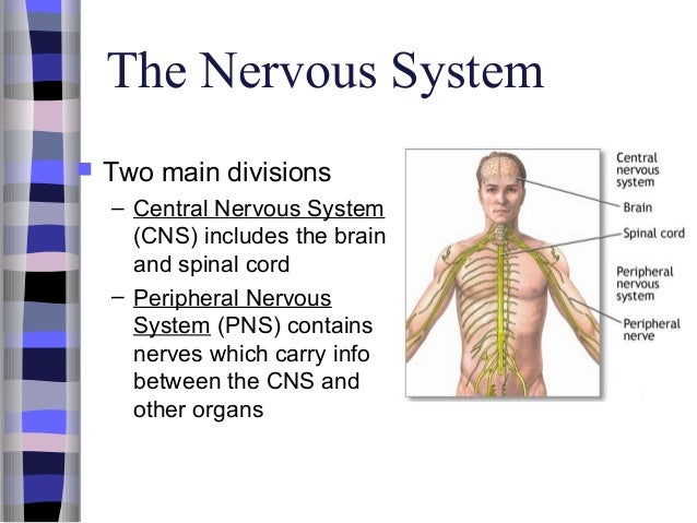 what are the two divisions of the nervous system