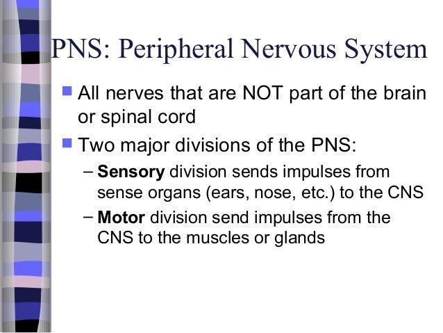 Nervoussystem 110516205922-phpapp02