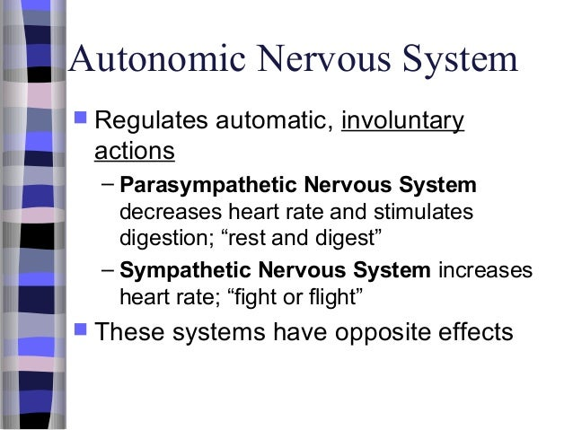 effects of massage on the parasympathetic and sympathetic divisions of the autonomic nervous and end The autonomic nervous system contains the sympathetic nervous system and the parasympathetic nervous system as well as an enteric division the sympathetic nervous system is the 'fight or flight' system which is triggered when an animal is under threat it's main neurotransmitter is adrenaline.