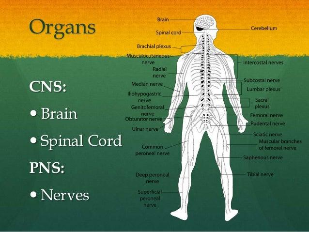 OrgansCNS: Brain Spinal CordPNS: Nerves