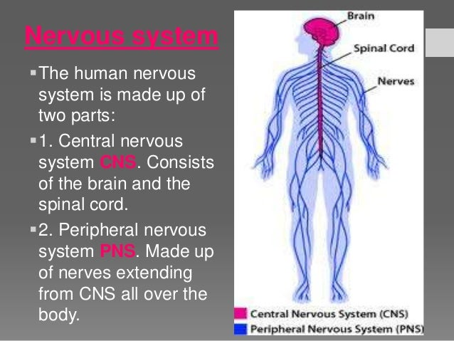 human nervous system essay Need writing essay about the human nervous system buy your excellent essay and have a+ grades or get access to database of 20 the human nervous system.