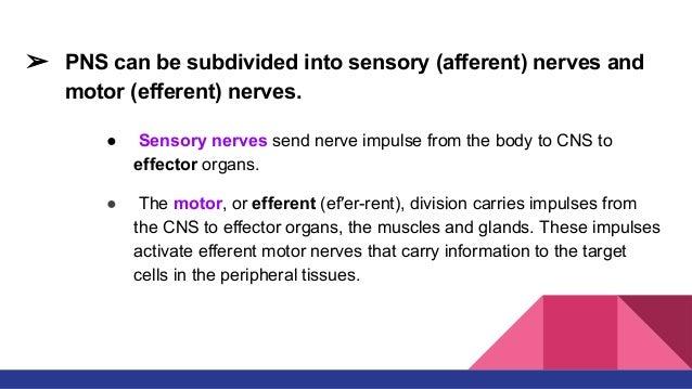 B. The parasympathetic nervous system. 34.