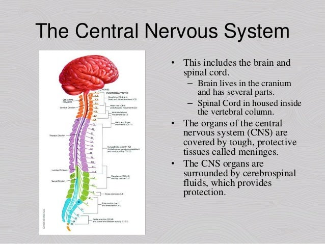 an introduction to the brain and spinal cord Popular for its highly visual and easy-to-follow approach, nolte's the human brain helps demystify the complexities of the gross anatomy of the brain, spinal cord and.