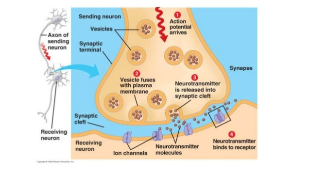 Nervous system 3; Synapses and Neurotransmitters