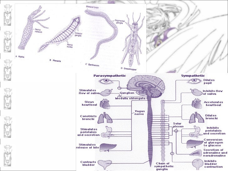 Nervous system and sense organs 16 ccuart Image collections